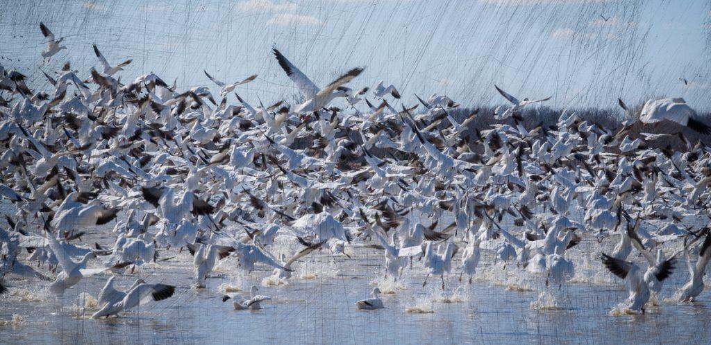 Oies blanches (Baie-du-Febvre)