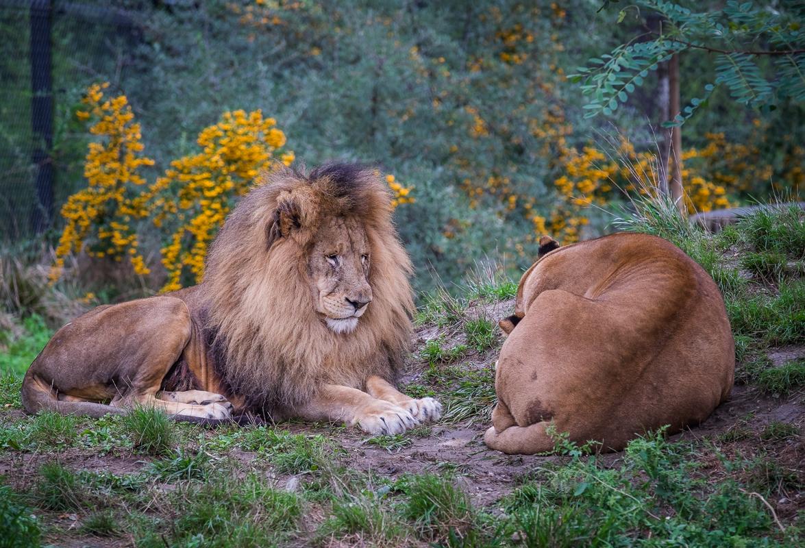 lions; Zoo de Prague (2016)