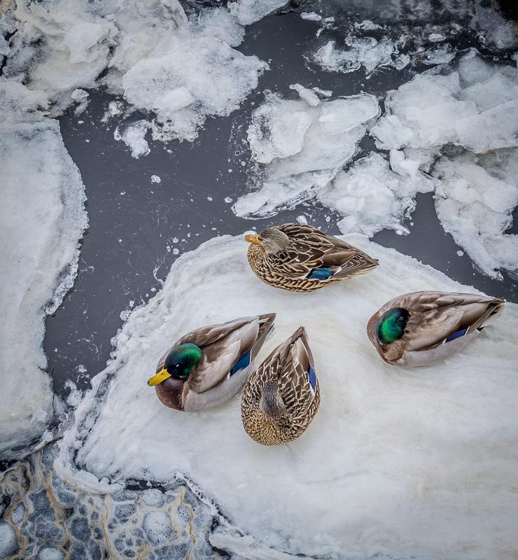 canard en hiver