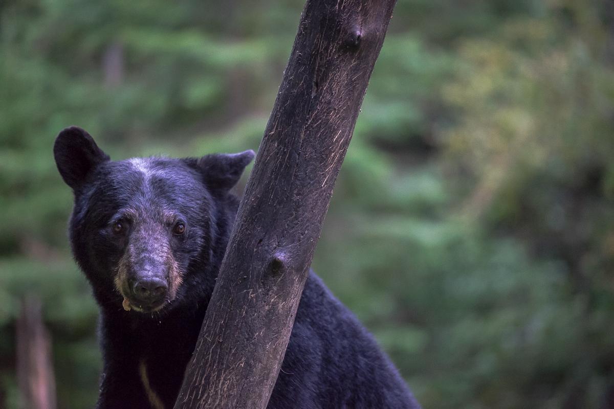 ours noir (Saint-Jean-des-Piles. Qc)
